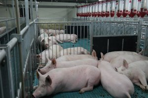 Инвестсовет поддержал строительство свинофермы в Калининградской области