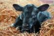 Племенной скот назван одной из успешных статей белорусского экспорта