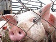 Фермерам подложат свинью