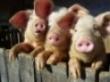 Нестандартная свинина