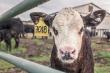 В ЕАЭС планируется создавать межгосударственные кластеры мясного скотоводства
