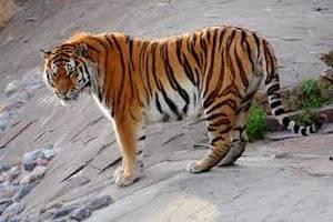 Амурский тигр съел двух коров у фермера на юге Приморья