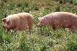 "Агрохолдинг ""Кубань"" снова взялся за свиней"