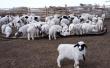 Оренбургская область планирует экспортировать в Узбекистан 2 тыс. голов крупного рогатого скота, коз и овец