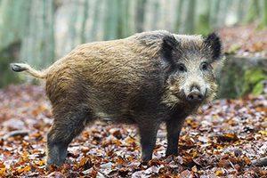 В Германии дикие свиньи изгоняют людей из домов