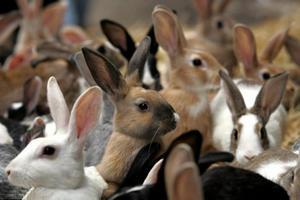 На Брянской кролиководческой ферме в селе Вельяминово Карачевского района прошел первый забой