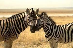 Блюда из зебры и антилопы в лондонском ресторане оказались кониной и олениной