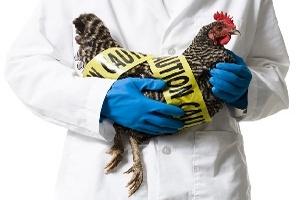Вспышка высокопатогенного гриппа птиц H5N8 была обнаружена в Южной Корее