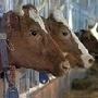 За пять месяцев года белгородские аграрии произвели 454 тыс. тонн мяса в живом весе