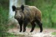 В Белгородской области из-за риска распространения АЧС уничтожили почти всех диких кабанов