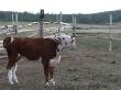 Лошади — свои, коровы — канадские, инвесторы — мордовские