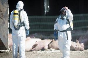 В Эстонии место захоронения чумных свиней проседает, распространяя вонь