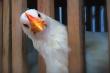 Китайская компания проследит за фермерскими курицами с помощью блокчейна и системы распознавания лиц