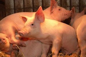 В Красноармейском районе Краснодарского края появился новый свинокомплекс