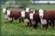 Поголовье крупного рогатого скота в Подмосковье в сентябре 2017 года снизилось на 2,2%