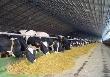 В Саратовской области выросло поголовье коров