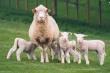 В овцеводческих хозяйствах Забайкальского края продолжается расплодная кампания