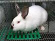 Около 2 тыс кроликов‑акселератов будут выращивать на ферме в Клинском районе Московской области к 2020 году