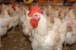 Обзор российского рынка мяса птицы