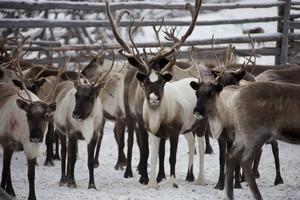 На Ямале почти 30% оленьего поголовья привили от сибирской язвы