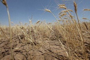 В Калмыкии из-за засухи стало нечем кормить скот
