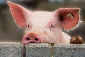 Еще одна вспышка африканской чумы свиней зафиксирована на юге Украины