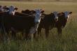 В России растет поголовье мясного скота — Минсельхоз