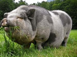 Уникальная украинская мясо-сальная порода свиней оказалась под угрозой исчезновения