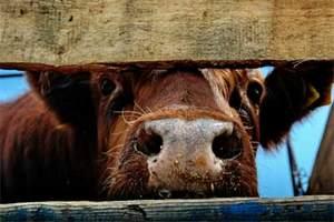 Аграрии Казахстана приобрели в Алтайском крае племенной крупный рогатый скот