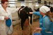В Астраханской области стало больше специалистов по осеменению крупного рогатого скота