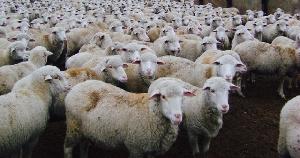 В Кабардино-Балкарской Республике разработана программа возрождения овцеводства