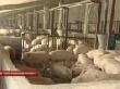 К 2015 году поголовье свиней в регионе должно вырасти до 1 миллиона