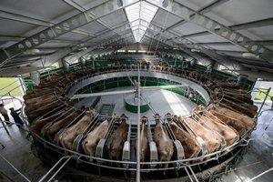 Голландцы предлагают Нижегородской области внедрять роботов на молочных фермах