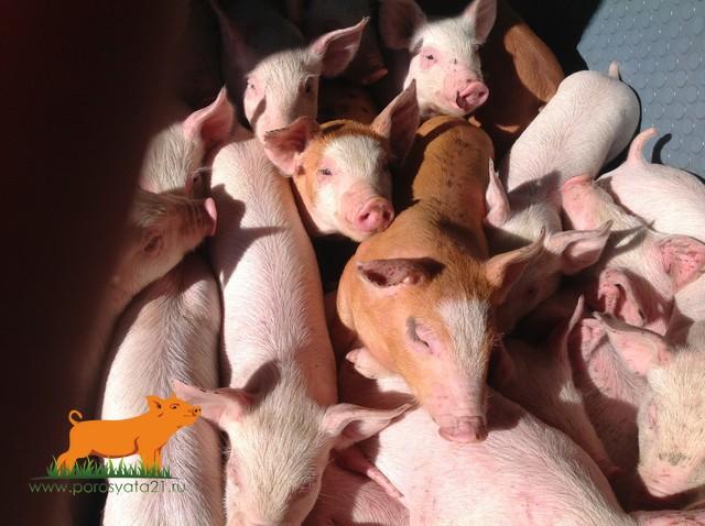 продам поросят мясной породы 6500 шт.