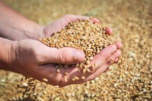 Внутренние цены на зерно в России безудержно растут
