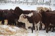 Калмыцкие коровы в черемховских пейзажах