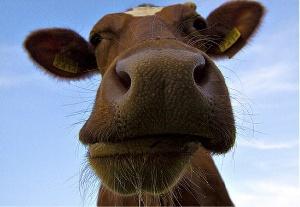 Массового забоя скота из-за летней засухи в Бурятии не допустили