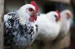 Башкирские птицеводы готовы повысить отпускные цены на 10–15%