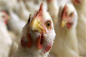 В Крыму выясняют причины гибели кур на подворьях в одном из сел