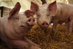 Глава Якутии провел совещание по реализации проекта строительства свиноводческого комплекса в Мегино-Кангаласском улусе