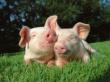 Глава Минсельхоза посетил Белгородскую область: Нужно выработать решение, которое бы гарантировало эффективное развитие свиноводства