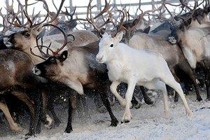 В Нижегородской области начали разводить благородных оленей на сельскохозяйственных фермах