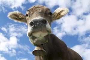 """Социальный проект """"Корова-кормилица"""" в Туве в этом году охватит более 1300 человек"""