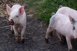 Во Владивостоке забраковали 54 тонны бразильской свинины