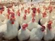 Уральские птицеводы теряют кредитную привлекательность из-за ВТО