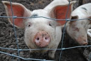 Свиноводы Эстонии угрожают производителю свинины из-за «финских свиней»