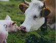 Первая продукция крупнейшего на Алтае свинокомплекса выйдет на рынок к августу 2012 года