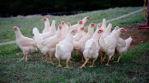 Казахстан планирует в четыре раза увеличить производство мяса птицы