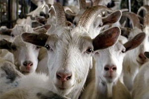В Акмолинской области Казахстана строится большая козья ферма