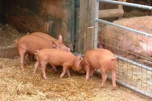В Менделеевском районе РТ открылся обновленный свинокомплекс